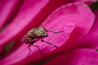 Horsefly on a pink flover