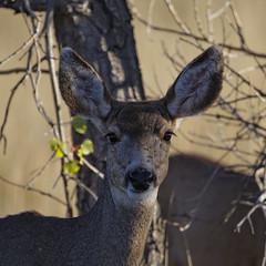 Mule deer doe (dcstep) Tags: urban usa nature colorado doe deer aurora urbannature dxo muledeer mosquitoes allrightsreserved cherrycreekstatepark ef500mmf4lis canon5dmkiii copyright2013davidcstephens ef20xtciii dxoopticspro83 z5a6428dxo