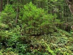 (dkrish) Tags: california green digital olympus mendocino ferns zuiko evolt e330 vandammestatepark 1454mmf2835