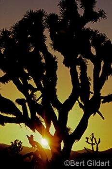 Sunset For the Joshua Tree