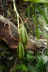 鳳蘭 Cymbidium dayanum Rchb. f.