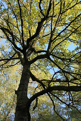 Looking Up (HennerzB) Tags: uk autumn trees england sunlight nature leaves vertical by forest myself landscape berkshire atmospheric hennerz