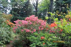 Rhododendron 103 (riccpics) Tags: trees fleurs garden botanical bush jardin arbres bloom botanique arbustre