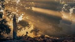Enchanted Woods (awhyu) Tags: woodland deer dunhammassey