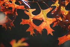 orange autumn (Jen's Photography) Tags: orange black october 2010 trees leaves foliage nature jensphotography nikon d80 nikond80 dslr harvard harvardillinois illinois fall autumn season seasonal smalltown village town country rural tree neighborhood outside outdoors fallcolor branches light sunlight backlit bighugelabs fairytale