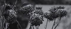 (Phillloyd fotographie) Tags: canon sunflowerpods barkingpark canon450d flameburger canonxsi tamronxrdiii18200