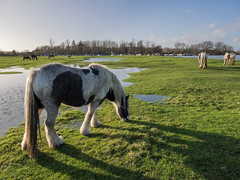 Port Meadow floods (Bruce Clarke) Tags: winter horses water grass landscape lumix lowlight flood olympus panasonic oxford riverthames isis oxfordshire 2014 portmeadow floodplain m43 ukfloods 1235mm omdem1