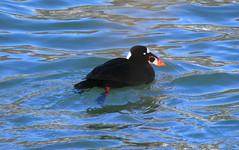 Surf Scoter (wvsawwhet) Tags: bird birds duck birding wv westvirginia birdwatching scoter surfscoter whitewingedscoter divingduck westvirginiabirds birdsofwestvirginia
