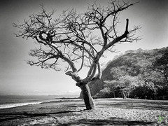 No Offer of Shade (Rock Steady Images) Tags: ocean camera blackandwhite bw tree beach canon sand costarica pacific bare places equipment cameras processing handheld 200views 50views topaz riu guanacaste powershots110 25views niksoftware bypaulchambers lightroom4 photoshopcs6 rocksteadyimages