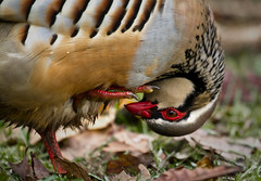 RLP_4151 (Peter Warne-Epping Forest) Tags: bird partridge gamebird redleggedpartridge alectorisrufa