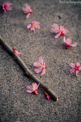 44/365 (novavistaphotography) Tags: pink flowers flower nature 50mm naturallight nikond3200 365challenge 365photochallenge 365photoaday