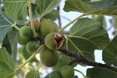 026 (Sica Carmine) Tags: santa italy italia campania fig maria figs fico cilento castellabate santamariadicastellabate fichi benvenutialsud