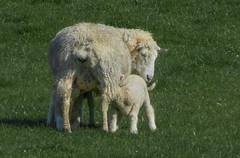 Patient Ewe -- P1100283--near Langlois, OR (Lance & Cromwell) Tags: oregon sheep panasonic livestock fz150 currycounty dmcfz150