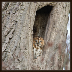 Tawny Owl (image 1 of 3) (Full Moon Images) Tags: tree bird nature project oak wildlife great bcn reserve owl trust prey fen cambridgeshire birdofprey tawny holme greatfen