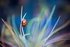 Spring lady (yui fan) Tags: life red macro nature colors beautiful canon photography 50mm march spring zoom mark iraq ii ladybird ladybug ladybirds iraqi العراق samarra سامراء 500px ماكرو عراقي samarrai بارق السامرائي bareq دعسوقة ifttt