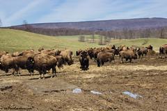 Beautiful Buffalo (PeaceLoveJava) Tags: buffalo pennsylvania bison lincolnhighway bedfordcounty thebisoncorral