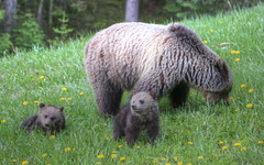 Mom and Her Babes (westrock-bob) Tags: bear park canada hot canon photography eos cub photo bc image pics picture pic columbia dandelion national photograph springs british cubs grizzly radium kootenay allrightsreserved hotsprings 6d cuthill bctourism britishcolumbiatourism canon6d westrockbob canoneos6d bobcuthillphotographygmailcom bobcuthill
