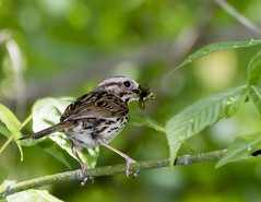 Look ma, I did it! (Carolyn Lehrke) Tags: trees usa nature leaves birds wow insect woods feeding wildlife wv sparrow catching learning juvenile avian greenbriercounty ronceverte ilobsterit