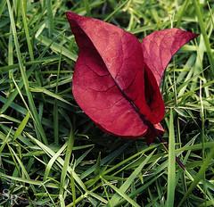 hoja roja en el cesped- (roizroiz) Tags: pink red beautiful leaf petals interestingness lovely mothernature i500 flowersflowerpetalpetalsnaturebeautifulloveprettyplantsblossomsoprettyspringsummerflowersofflowerstylesgfflowersloversflowerpornbotanicalfloralfloralsflickrpickblossomflowermagicflickrbloomsbloombloomsbotanicaloftheday plantsportrait