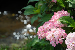 20150620-DS7_4415.jpg (d3_plus) Tags: street sky plant flower nature japan walking nikon scenery bokeh outdoor fine daily bloom  streetphoto hydrangea  tamron    dailyphoto    fujisawa thesedays  endo  fineday      tamron28300mm    tamronaf28300mmf3563  a061   hydrangeafestival d700 tamronaf28300mmf3563xrdildasphericalif  nikond700  tamronaf28300mmf3563xrdildasphericalifmacro tamronaf28300mmf3563xrdild  nikonfxshowcase a061n