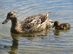 Mum and Duckling (James Cottrell 1) Tags: uk bird water duck south yorkshire duckling barnsley