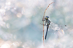 Schwarze Heidelibelle (Sympetrum danae) (MichaSauer) Tags: macro insect tau makro libelle sonnenaufgang gegenlicht heidelibelle sympetrum blackdarter segellibelle