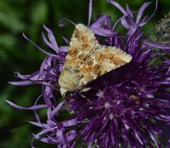 Dusky Sallow (Eremobia ochroleuca) (Claire Sell) Tags: nature nikon wildlife moth noctuidae nikond3200 1855mmf3556 d3200 nikon1855mm duskysallow eremobiaochroleuca