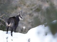 Camosci12 (Lunghefocali.snc) Tags: camoscio rupicaprarupicapra dolomiti valdifiemme trentino altamontagna biancoenero wildlife nature