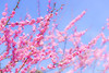 Red plum blossoms (稲垣一志) Tags: japan japaneseplum earlyspring flower fullbloom red redplumblossoms spring 日本 早春 春 梅 満開 紅 紅梅 花