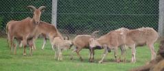 D09957.  Barbary Sheep. (Ron Fisher) Tags: barbarysheep sheep zoo animal kessingland lowestoft africaalive suffolk eastanglia england gb greatbritain uk unitedkingdom europe pentax pentaxkx
