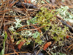 Cetraria arenaria, Cladonia uncialis_lichens_Sparks Farm South Barren_3 (Pete&NoeWoods) Tags: f16woo14 bedfordcnhi bedfordcounty shalebarren sparksfarmsouthbarren sparksfarm lichen cetrariaarenaria cladoniauncialis doubleeo