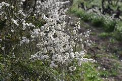 Prunus spinosa (esta_ahi) Tags: viladellops rosaceae flor floración flores flora penedès barcelona spain españa испания prunus spinosa prunusspinosa endrino aranyoner