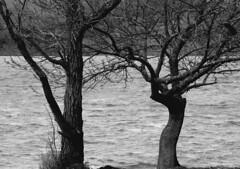 Les vacanciers (isabeau bugelle) Tags: lacdusalagou lac arbre eau hiver branche noiretblanc monochrome