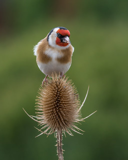 dsc_4940 Goldfinch