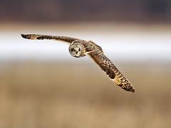 Short-eared Owl (Brian E Kushner) Tags: shortearedowl shorteared owl short ear asioflammeus goshen new york birding bird nikon d5 nikond5 nature bkushner wildlife animals ©brianekushner nikonafsnikkor800mmf56efledvrlens afs nikkor 800mm f56e fl ed vr lens tc800125e tc800125eed flight flying