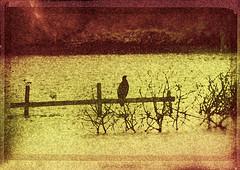 Cormorant (Daddy Blue) Tags: brereton cormorant manip manipulation analog efex cs5 sponge creative adobe shockofthenew awardtree