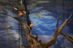 DSC09103 (sesquiotic) Tags: goldfish tank ontariosciencecentre leica50mmsummicronf2 closefocusadapter