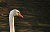 Melanchony white swan (mjntan) Tags: swan sadface sunlight sunrise river
