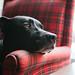 Wallace (zulks) Tags: dog pitmix blackdog eye puppyeyes