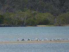 P1030246 (gordonduffus) Tags: silvergull littlepiedcormorant crestedtern