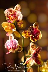 Orchid Magical (royvenegas) Tags: delicate precious blossom beautiful georgeous fresh hermosa bella