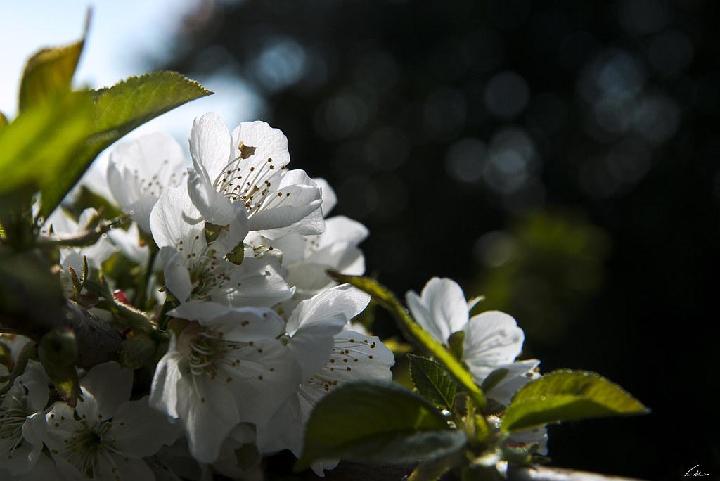 1600-cerejeira (3)