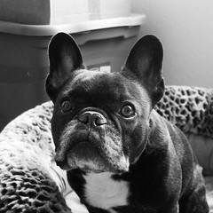 Quick Shots (Lainey1) Tags: oz ozzy dog frenchie bulldog lainey1 elainedudzinski frogdog zendog frenchbulldog ozzythefrenchie leica leicadlux4 monochrome bw