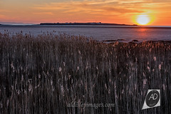 Spring in the bed (alun.disley@ntlworld.com) Tags: hilbreisland westkirby sunset nature grasses reedbeds beachlandscape weather merseyside welshhills vista shoreline thegreatoutdoors wildplants wirral