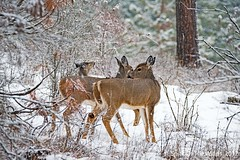 The Group (jimgspokane) Tags: deer wildlife washingtonstate winter snow trees forests naturewatcher otw
