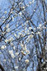 IMG_0653crs (kenta_sawada6469) Tags: flower flowers spring tree trees nature macro japan japanese japaneseapricot ume white
