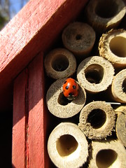 I want to be a bee (JulieK (enjoying Spring in Co. Wexford)) Tags: bugbox insect fauna tubes wooden hbbbt invertebrate wexford ireland irish canonixus170