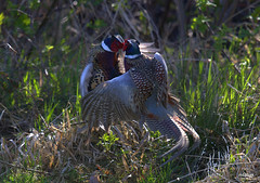 Ring-necked Pheasants cockfight (miketabak) Tags: