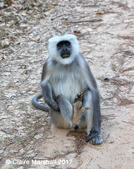 Lazy Langur having a wee (Claire Marshall 3) Tags: langur monkey mammal india primate corbett national park wee pee urine urinate canon