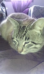 Gato europeu comum (leonilde_bernardes) Tags: animais gato love ilovecats cats chat felino pantufa